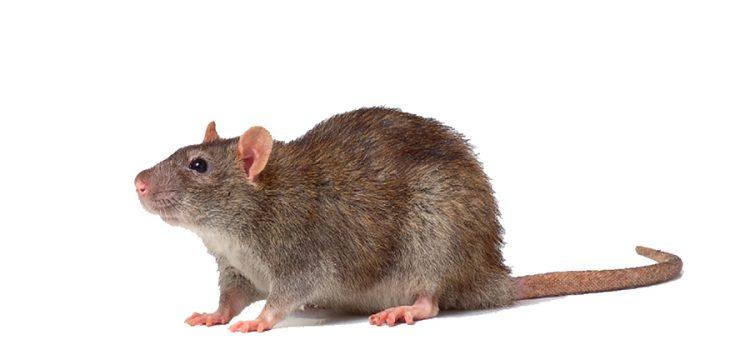 Informatii despre Sobolanul cenusiu – Rattus Norvegicus